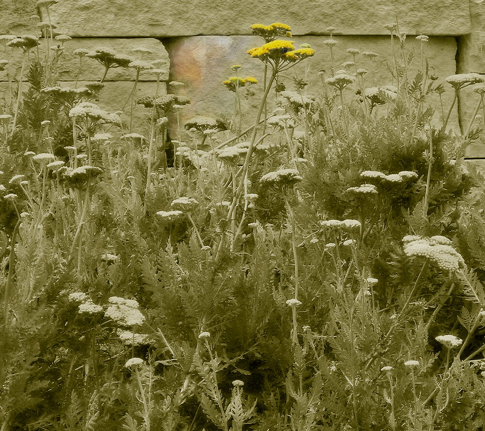 Yarrow Against the Wall by Jing3011