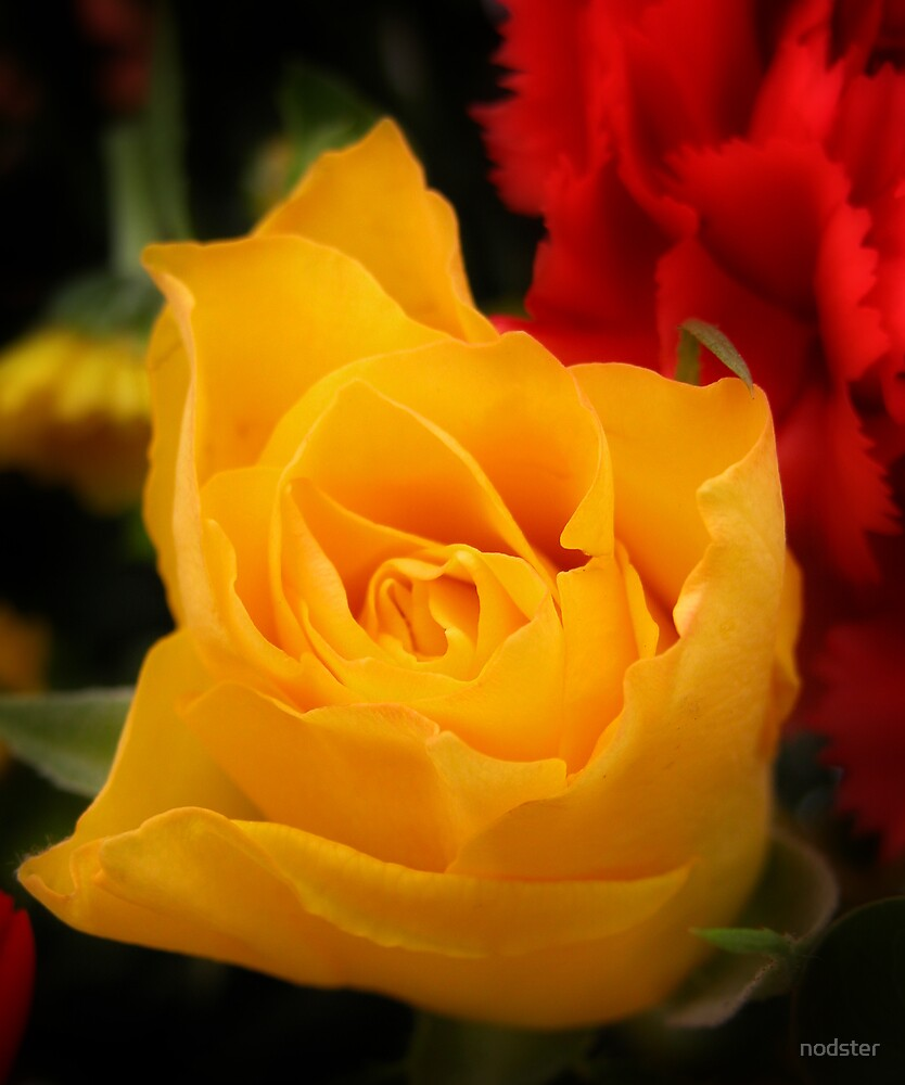 Yellow Rose by nodster