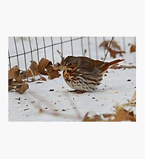 Fox Sparrow Photographic Print
