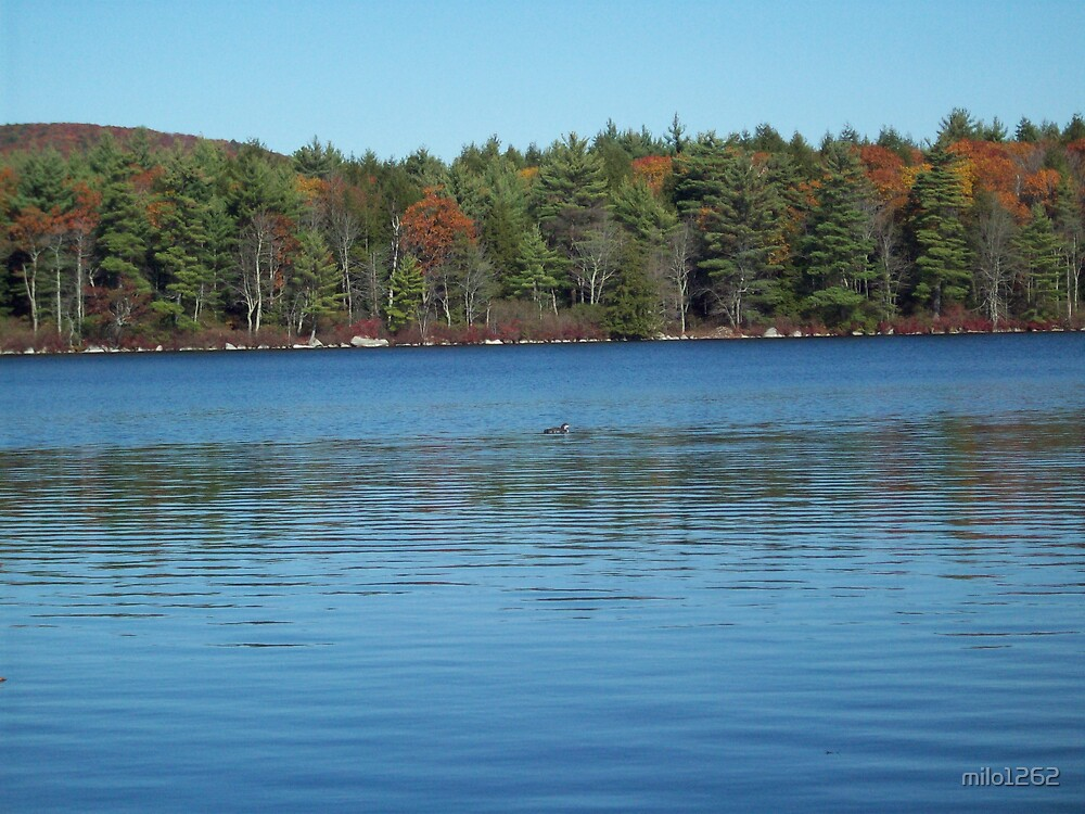 Loon on a fall day by milo1262