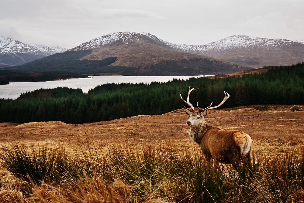 Highland Stag by David Queenan
