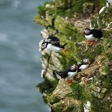 Puffin flight by obadiah