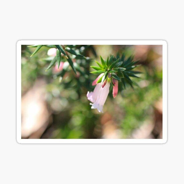 Sunlit Pink Heath  Sticker
