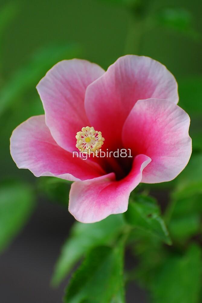 Pink Star Hibiscus 1 by nightbird81