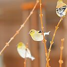 American Gold Finch by NatureGreeting Cards ©ccwri