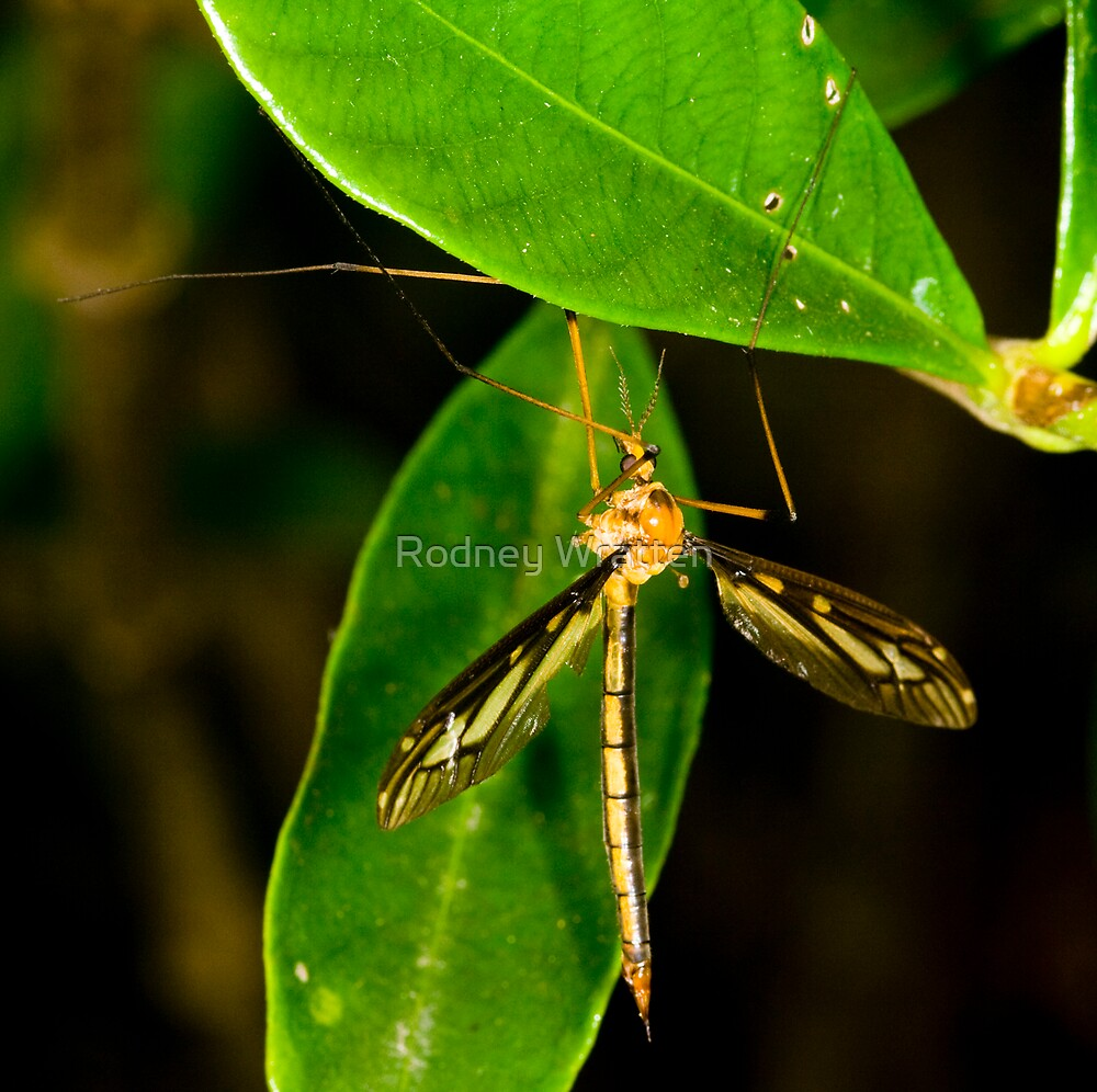 Crane Fly by Rodney Wratten