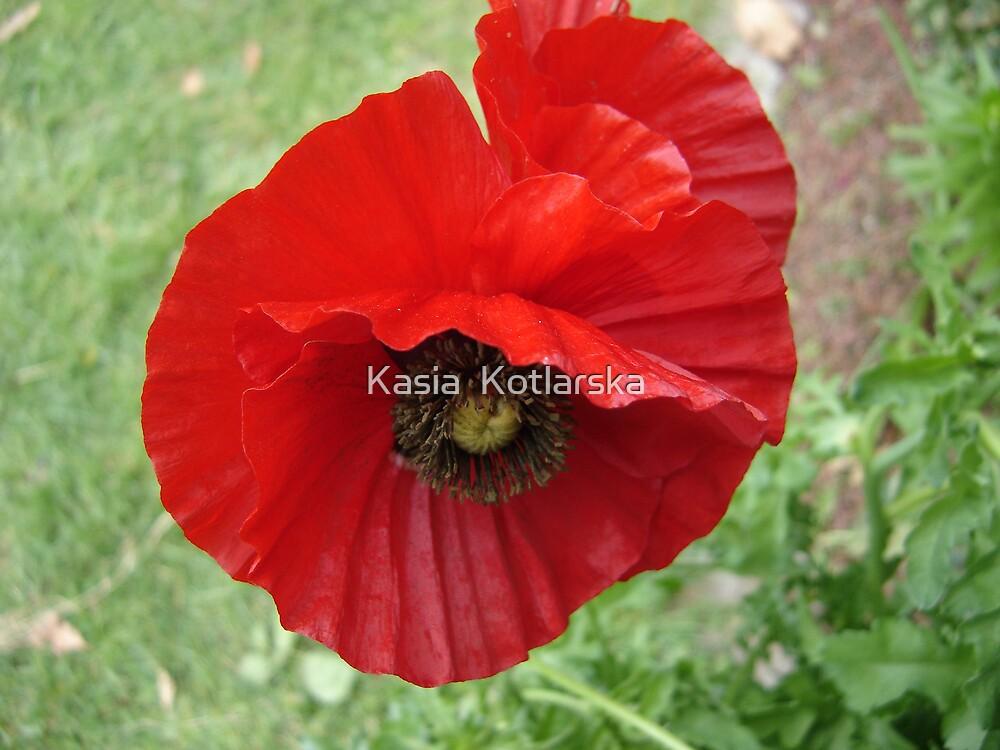 Red poppy by Kasia  Kotlarska