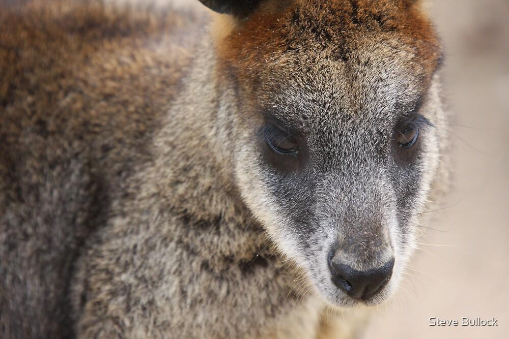 Rock Wallaby by Steve Bullock