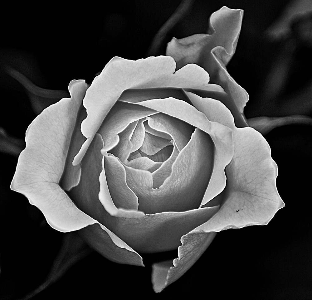 Rose in Monochrome by daveloh