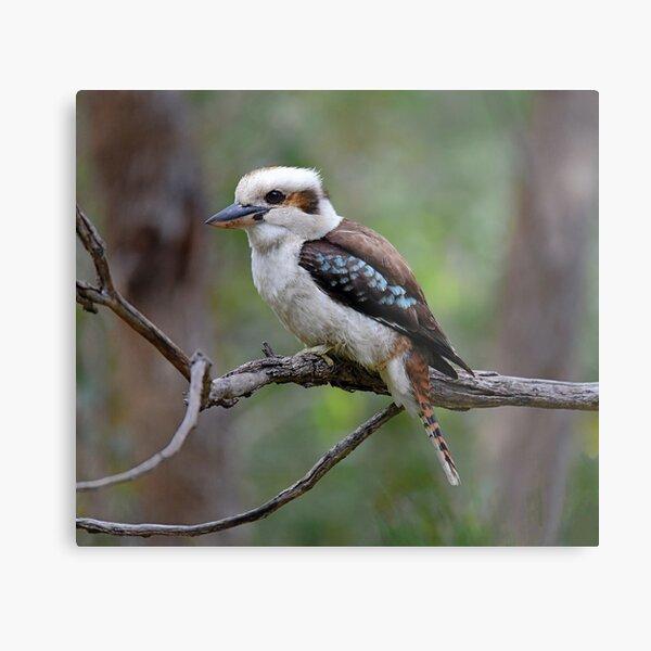 Australian Kookaburra Metal Print