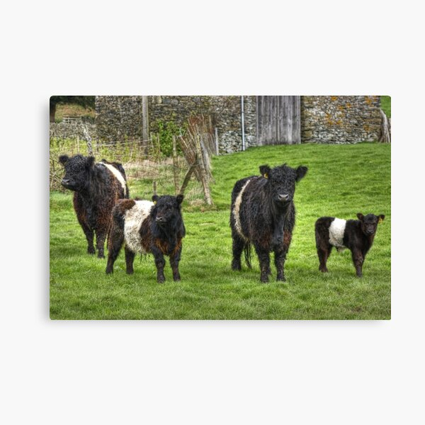 Belted Galloways. Canvas Print