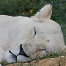 Sleeping Lioness by Vicki Spindler (VHS Photography)