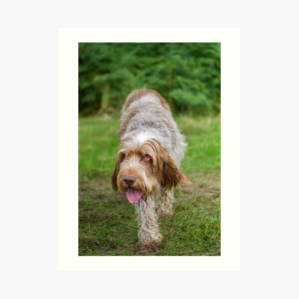 Brown Roan Italian Spinone Dog Art Print