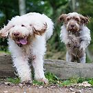 Italian Spinone Dogs in Action ~ Annabelle and Thane  by heidiannemorris