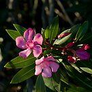 Pink Oleander by Andreas Koepke