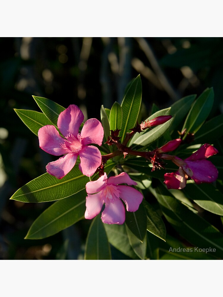Pink Oleander by mistered