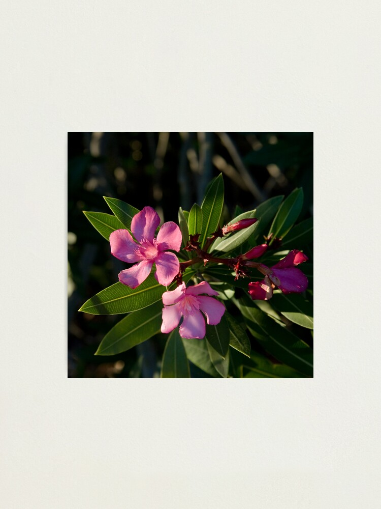 Alternate view of Pink Oleander Photographic Print