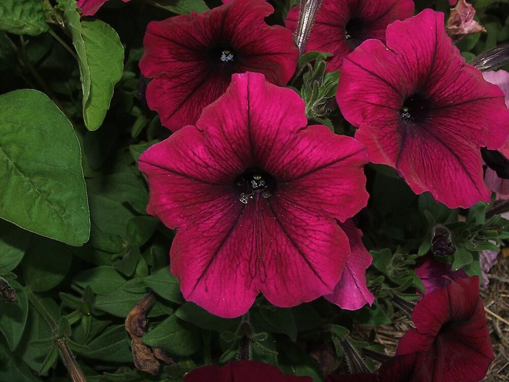Petunias by poinsiana