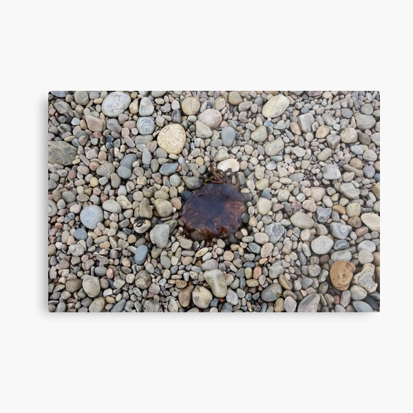 Jellyfish on a bed of pebbles Metal Print