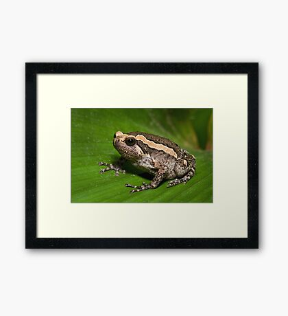 Asian Bullfrog Framed Print
