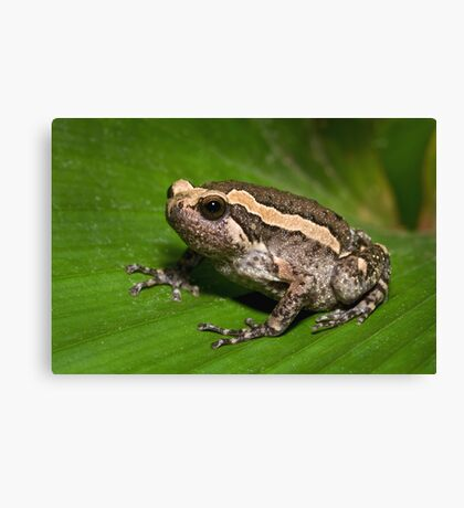 Asian Bullfrog Canvas Print