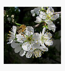 Plum Blossom - Spring is here. Photographic Print