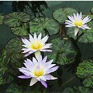lily Pads  by Don Wright