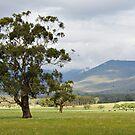 The Gum Tree by Joel McDonald