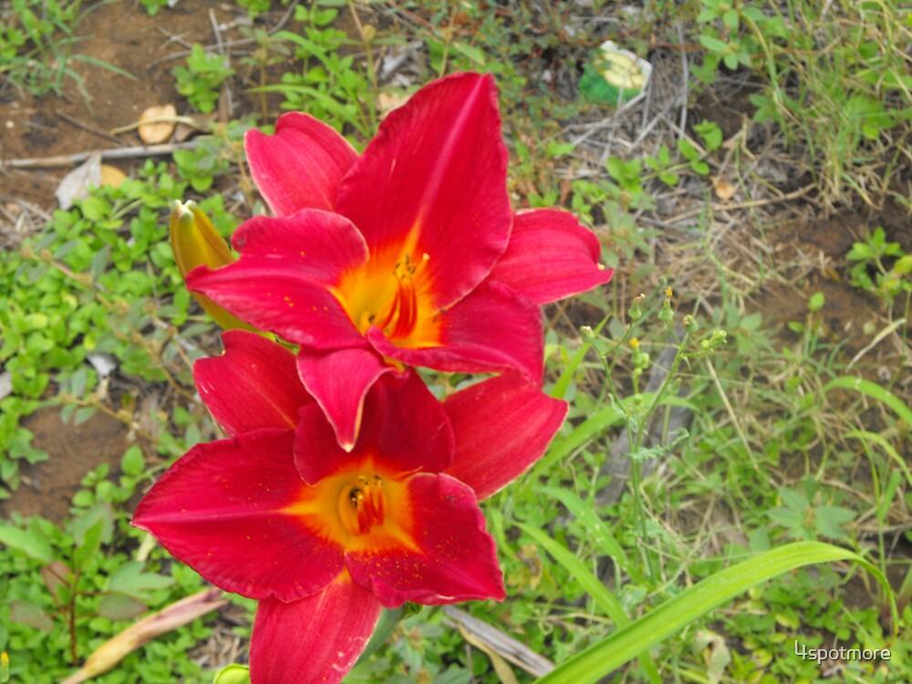 Two Red Daylillies, Hemerocallis by 4spotmore