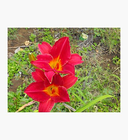 Two Red Daylillies, Hemerocallis Photographic Print