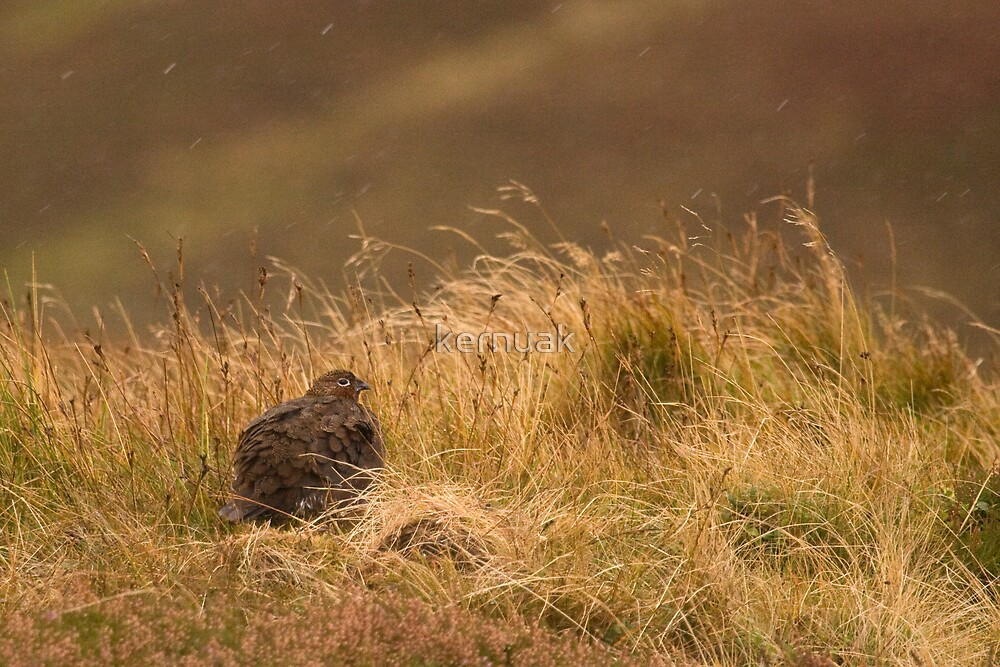 Red Grouse in the Rain by kernuak