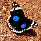 BLUE PANSY – Junonia oenone oenone ( African Butterfly series) by Magriet Meintjes