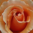 Rose of Orange by Bev Pascoe