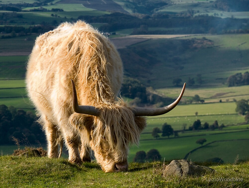 Highland Cow by LazloWoodbine