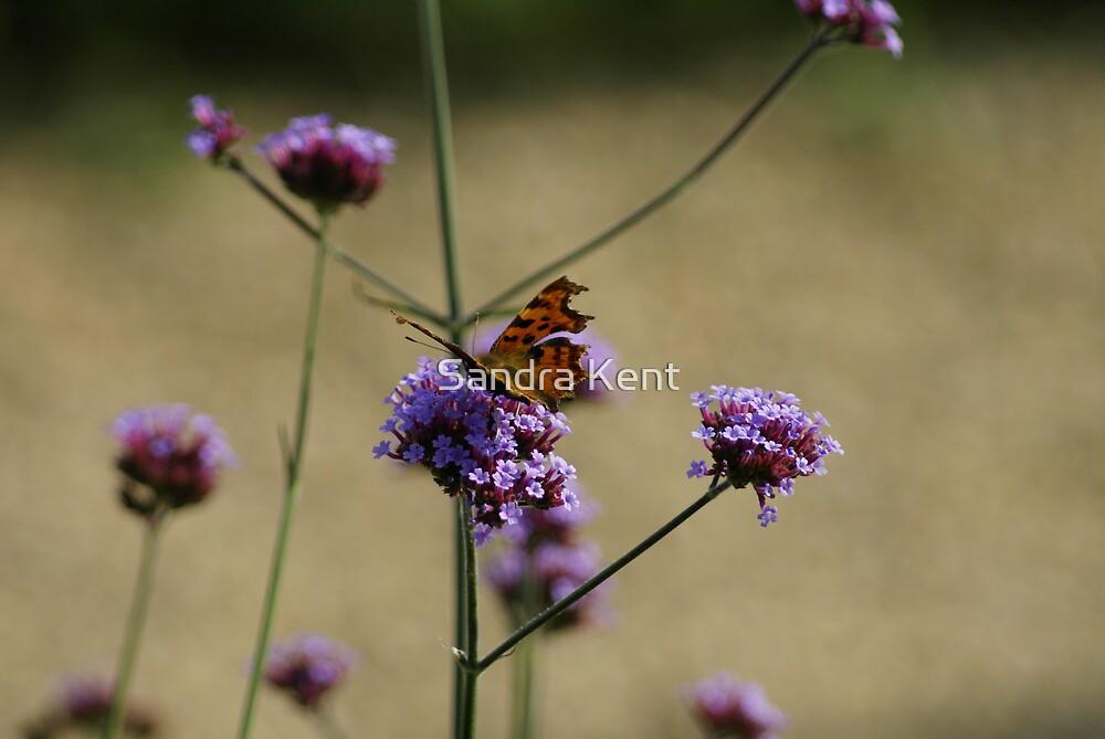 beautiful butterfly by Sandra Kent