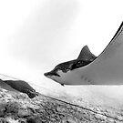 Eagle Rays by Djjacksonart