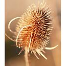 Thistle by bared