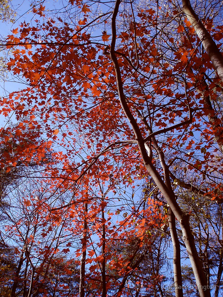 Red Leaves Under November Blue Sky by Candace Byington