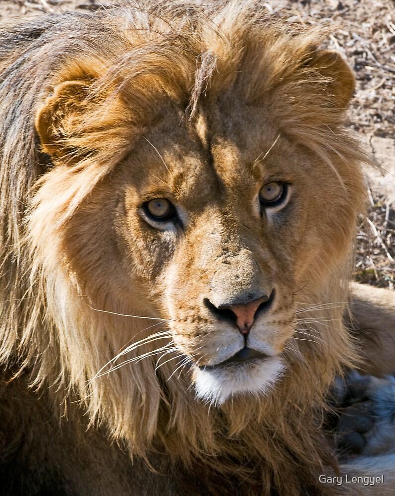 Lion by Gary Lengyel