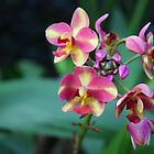 Orchid Focus by mackography