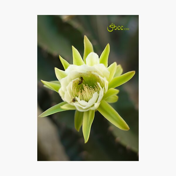 Princess of the Night - Bloom with Playful Bees Photographic Print