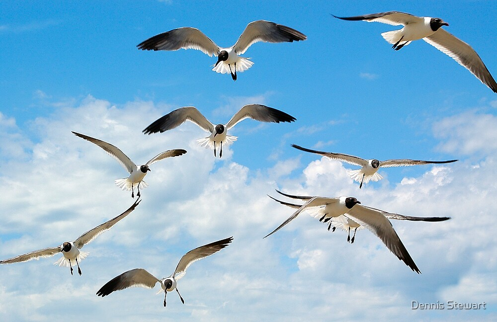 Laughing Gulls by Dennis Stewart