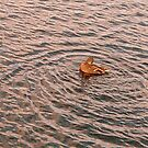 Duck by Alojzy