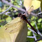 Dragonfly by Evan Johnson