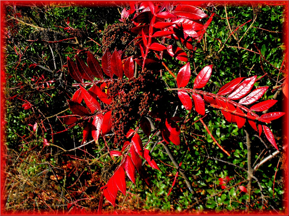 red leaves by vpiombo