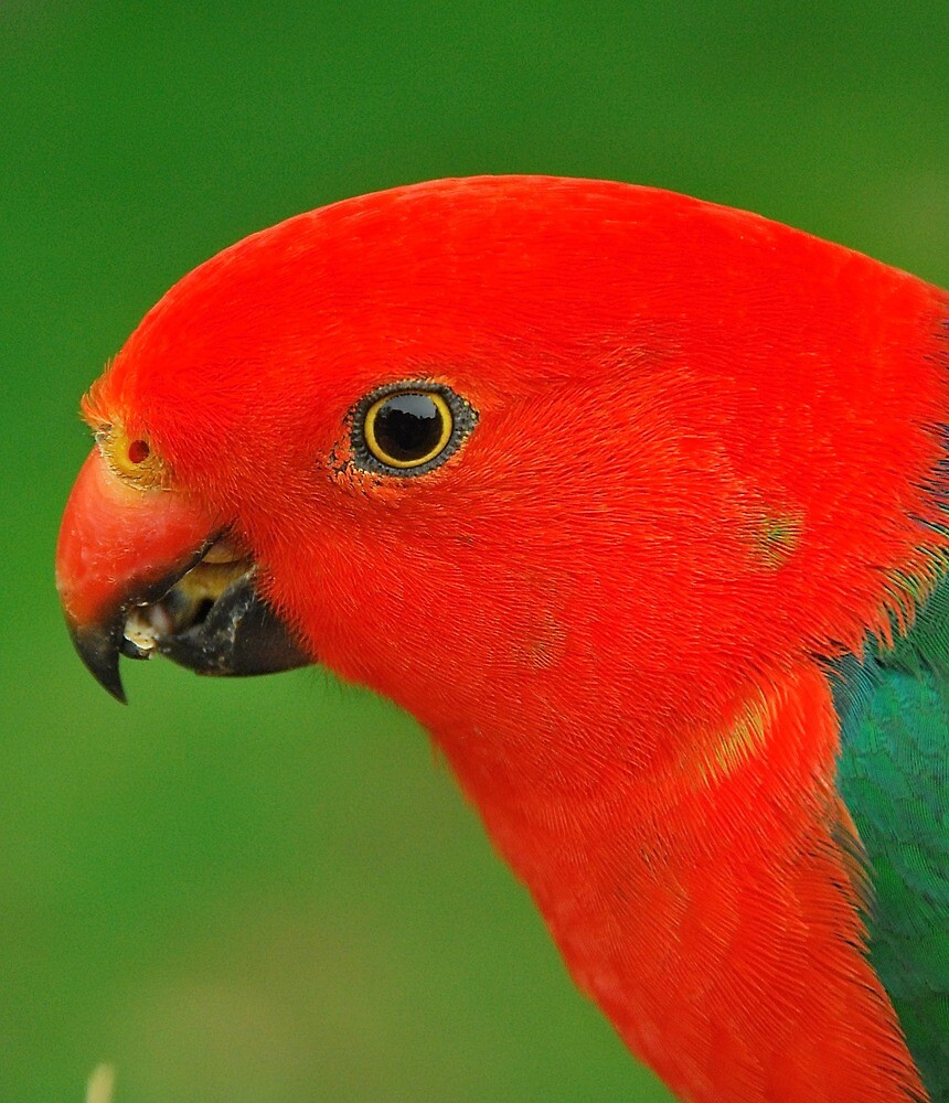 Pretty King Parrot by Penny Smith