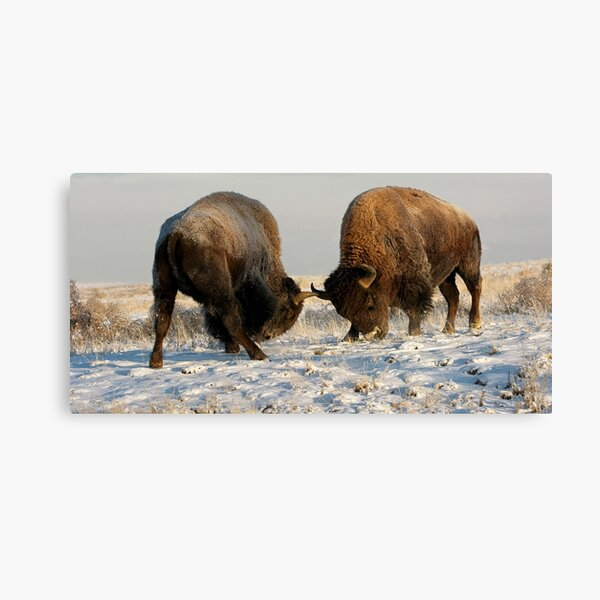 The Fight of Bison - Arsenal Colorado Canvas Print