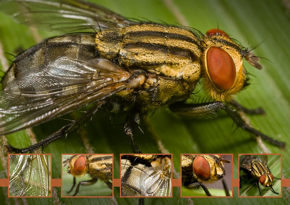 Aussie Blowfly by Damabelle