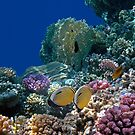 The Beautiful Exquisite Butterflyfish in the Red Sea by hurmerinta