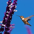 Allen's Hummingbird On A Beautiful Day by DARRIN ALDRIDGE